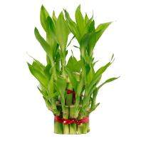 Lucky bamboo Medium