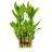 Buy Lucky bamboo Medium
