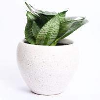 White Melody Sansevieria