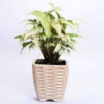 Sepia white Syngonium