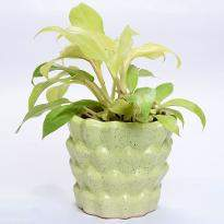 Leafy Philodendron Golden