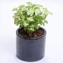 Onyx syngonium Mini