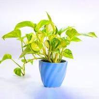 Azureous Enjoy Money Plant