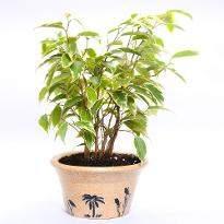 Woody Ficus