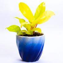 Ombre Philodendron golden