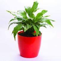 Breathing beauty Spathiphyllum