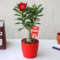 Adenium Bonsai for Amazing Father