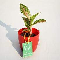 Aglaonema Butterfly Manis for Wonderful Day