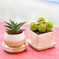 Delightful Succulents in a Ceramic Pots