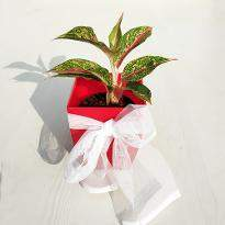 Awesome Aglaonema Butterfly Manis