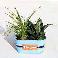 Best Indoor Chlorophytum and Sansevieria Plant