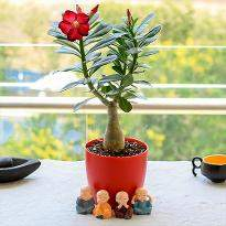 Bonsai Looking Adenium