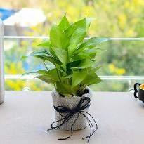 Money Plant in a Jute Wrap