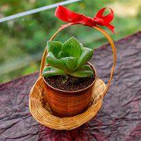 Haworthia Basket for Someone Special