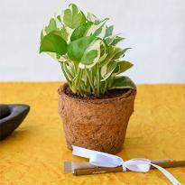 Eco Friendly Money Plant Prince with Pen and Pencil in Coir Pot