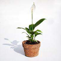 Eco friendly Peace Lily