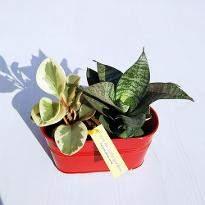 Enjoy Peperomia and Sansevieria Plant Garden