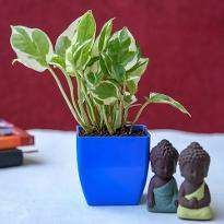Gift Blessings of Buddha with Money Plant
