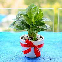 Prosperous Money Plant In Ceramic Pot