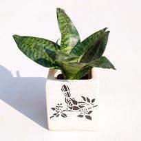 Sansevieria trifasciata Hahnii Snake Plant in Ceramic Pot