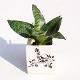 Buy Sansevieria trifasciata Hahnii Snake Plant in Ceramic Pot