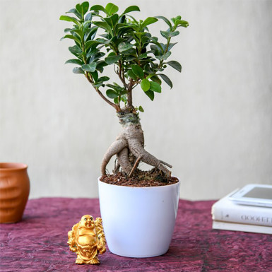 Buy Wish Good Luck with Ficus Bonsai and Laughing Buddha