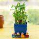 Buy Alluring Lucky Bamboo for AC Office Desk