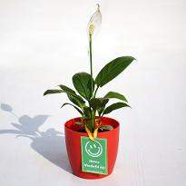 Peace Lily for Wonderful Day