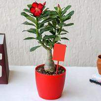 Adenium Bonsai for Amazing Father