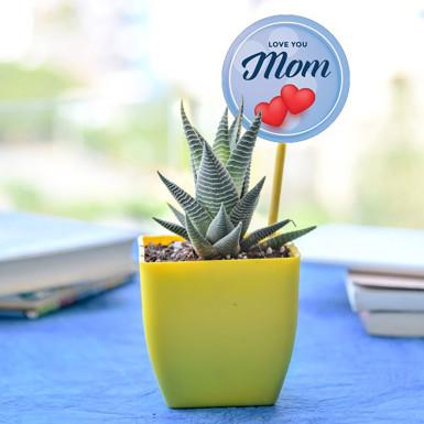 Buy Elegant Haworthia for Lovely Mom